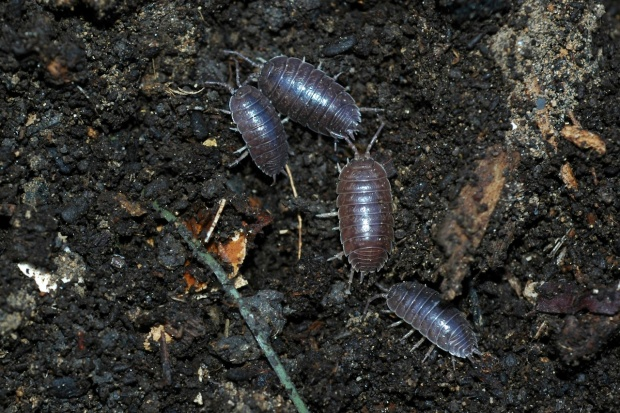 sowbug, pillbug, rolly-polly